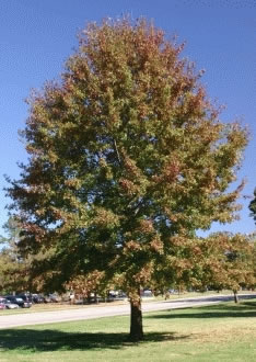 Prince Edward Island official tree - Red Oak